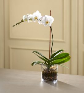White orchid sympathy flower
